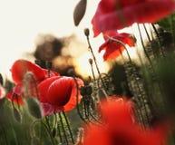 Poppy Field över solnedgång Arkivbild