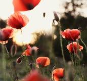 Poppy Field över solnedgång Royaltyfri Bild