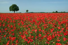 Poppy field 1. A sea of red corn poppys royalty free stock photo