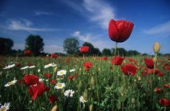 Poppy Field. At Spring royalty free stock photo