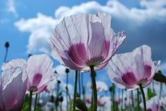 Poppy field Royalty Free Stock Photos