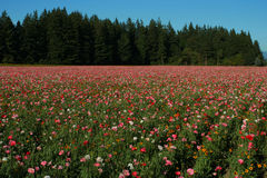 Poppy field. Mt. Angel, Oregon Stock Image