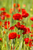 Poppy Field Stock Photography