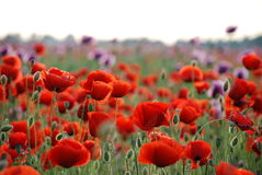 Free Poppy Field Royalty Free Stock Photo - 11264035