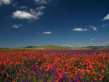 Poppy field. Poppy with lavenda field on blue sky and hills on background Stock Image