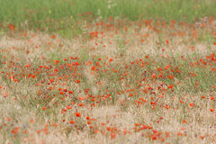Poppy field. Beautiful rural field full of poppies in La Rioja, Spain Stock Images