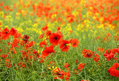 Poppy field. In Poland - summer time Royalty Free Stock Image