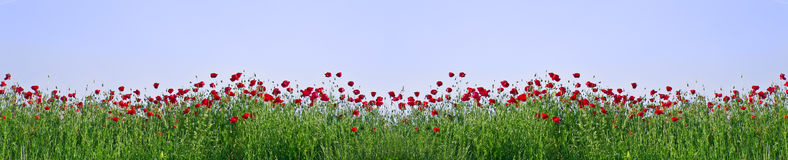 Poppy field. Red poppies on green field as a frame stock images