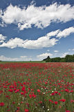 Poppy field. Landscape - Poppy field in sunny day, and blue sky with white clouds Royalty Free Stock Photo