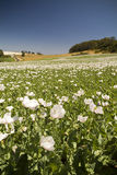 Poppy Field. White poppies love the sun on magnificent Table Cape, just north of Wynyard, Tasmania, Australia Stock Photography