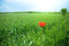 Poppy in field Stock Photography