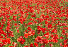 Poppy field. Beautiful poppy field in spring Royalty Free Stock Photography