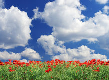 Poppy field. Flowerses poppy on background bright sky with cloud Royalty Free Stock Image