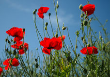 Poppy Field. Wild poppies on a sunny day Stock Photos