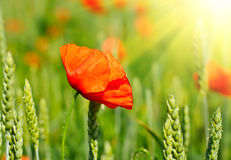 Poppy in a field Stock Photo