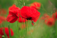 Poppy field. Field of vibrant red poppies blowing in the breeze Stock Photos