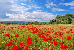 Poppy field. Stock Photography
