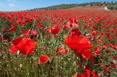 Poppy Field. In Pinos Puente, Granada, Andalusia, Spain Royalty Free Stock Photo