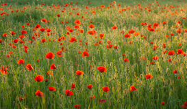 Poppy field. A red-folwered corn poppy field is glowing scarlet against the setting sun Stock Images