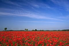 Poppy field 2. A sea of red corn poppys royalty free stock photography