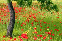 Poppy Field. Field of red poppies and tall grasses, one tree Royalty Free Stock Photos