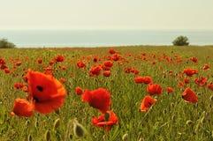 Free Poppy Field Royalty Free Stock Image - 23295686