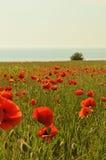 Poppy field. Near the sea Stock Photos