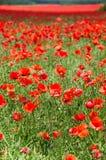 Poppy field. Vertical shot of endless poppy field Royalty Free Stock Image