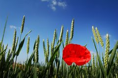 Poppy in a Field royalty free stock image