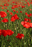 Poppy field. Summertime field with red poppy flower (plant family Papaveraceae Royalty Free Stock Photo