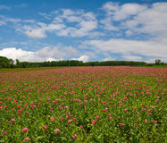 The poppy field Stock Image
