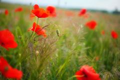 Poppy field. In Alps, Germany stock images
