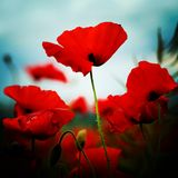 A poppy field stock photos