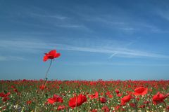 Poppy field 3. A sea of red corn poppys stock image