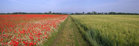Poppy field 3. A way betwenn red and green fields stock image