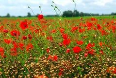 Poppy field royalty free stock photography