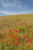 Poppy Field fotografia stock
