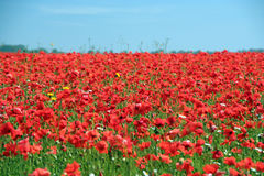 Poppy field. A field of poppies in sussex England. Poppy field. Red poppies Stock Images