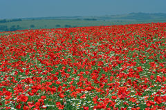 Poppy field. A field of poppies in sussex England. Poppy field. Red poppies Royalty Free Stock Image