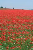 Poppy field. Breathtaking view of a field full of poppies as far as the eye can see Royalty Free Stock Images