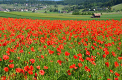 Poppy field. In alpine valley Royalty Free Stock Image