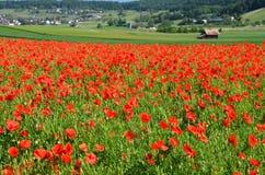 Poppy field. In alpine valley Royalty Free Stock Image