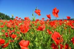 Poppy field. In alpine valley Royalty Free Stock Photos