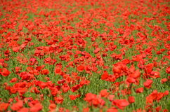Poppy field. Red poppy field. Abstract background Royalty Free Stock Image