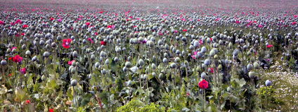 Poppy Field 2 Photos libres de droits