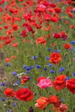 Poppy field. Lots of red poppies growing Stock Photos