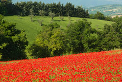 Poppy field. A poppy field covers the slope of a hill in Le Marche, Italy Royalty Free Stock Photos