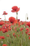 Poppy field Stock Photo