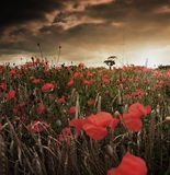 Poppy Field. A poppy field in a sunset Stock Images