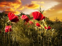 Poppy field. In sunset green grass clouds sky Stock Photography